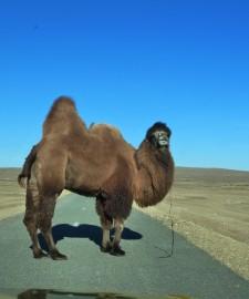 EIn Trampeltier auf der Straße - Abenteuer Mongolei - Asien-Reise Reisebericht von Dr. Martin Krengel